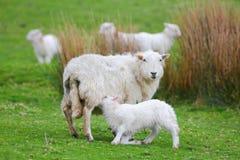 Suckling lamb royalty free stock images