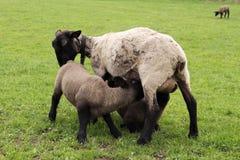 Suckling lambs Royalty Free Stock Photo