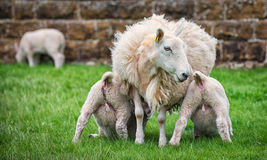Suckling lambs Stock Image