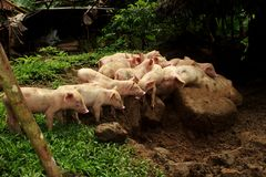 Group of white suckling on mud prepare for feeding stock image