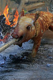 Suckling pig roasted detail. Suckling pig on a rotating spit with fire in the background royalty free stock images