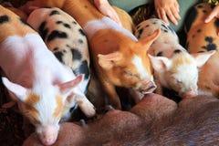 Suckling piggies Stock Photo