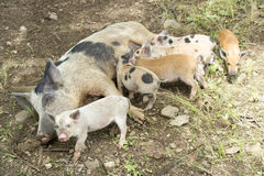 Suckling Piglets Royalty Free Stock Photography