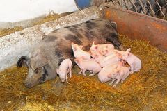 Suckling pigs Stock Photos