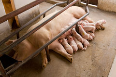 Suckling pigs. Newborn pigs feeding in stall Stock Image