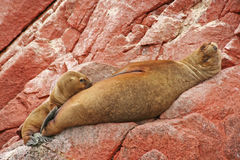 Suckling Sea Lion Pup Royalty Free Stock Photos