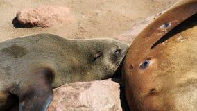 Suckling seal cub Stock Photo