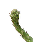 Suckulent blomma Fotografering för Bildbyråer