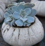 Suckulent detaljskott i cementplanter arkivfoton