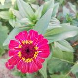 suckulent för closeupblommapink Royaltyfri Fotografi