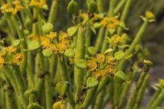 Suckulent för spurge för Euphorbiamauritanica guld- Royaltyfri Fotografi