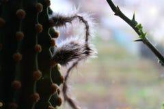 Suckulent kaktus, växt, grönska, blomma, knopp, echinopsis, lövverk, stam, komfort, kräk, pengarträd, ljus, gryning fotografering för bildbyråer