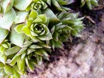 Suckulent kaktusväxt Fotografering för Bildbyråer