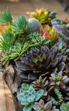 Suckulent plantera Fotografering för Bildbyråer