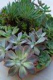 Suckulent plantera Royaltyfria Foton