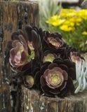 Suckulent svart riddare i en träPlanter Royaltyfri Foto
