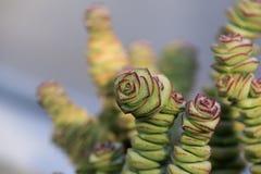 Suckulent växt Arkivfoto