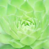 Suckulent växt Royaltyfria Bilder