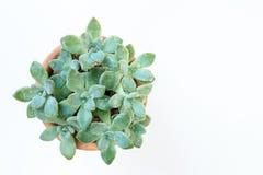 Suckulent växt Arkivfoton
