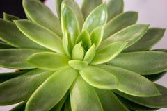 Suckulent växt fotografering för bildbyråer