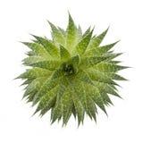 Suckulent växt Royaltyfria Foton