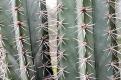 suckulent växt för abstrakt bakgrundstextuerkaktus Arkivbild