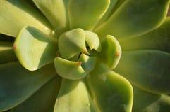 Suckulent växt för abstrakt Closeup Arkivbilder