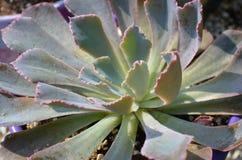 Suckulent växt för Echeveria neonsäkerhetsbrytare Royaltyfri Foto