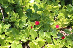 Suckulent växt med den röda blomman arkivfoton
