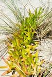 Suckulent växt på dyerna på stranden Royaltyfria Foton