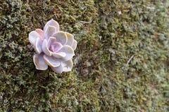 Suckulent växt på mossaväggen Arkivbild