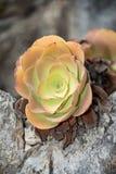 Suckulent växt som växer i den exotiska trädgården Fotografering för Bildbyråer