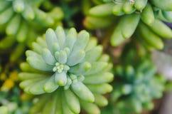 Suckulent växt Top beskådar Arkivfoto
