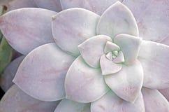 Suckulent växtbakgrund Royaltyfria Bilder