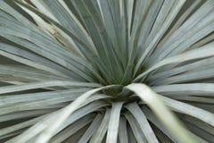 Suckulent växtdetalj Royaltyfri Fotografi