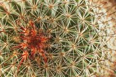 Suckulent växtmakro Royaltyfri Foto