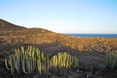 Suckulent växtkaktus på den torra öknen Arkivbilder