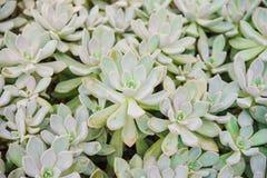 Suckulenta Echeveria Fotografering för Bildbyråer
