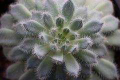 Suckulenta Echeveria Arkivfoton
