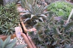 Suckulenta v?xter i blomkrukor Houseplants Haworthia mot bakgrund field bl?a oklarheter f?r gr?n vitt wispy natursky f?r gr?s fotografering för bildbyråer