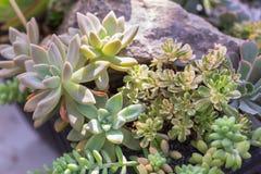 Suckulenter eller kaktus i ökenbotaniska trädgården för garnering och åkerbruk design royaltyfria foton