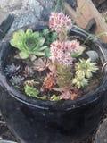 Suckulentväxter i keramisk kruka Royaltyfri Bild