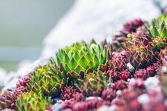 Suckulentväxter som är passande för, vaggar trädgården - den Sempervivum calcareumen arkivbilder