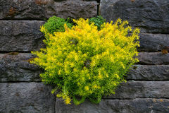 Suckulentväxter som växer på den gamla stenväggen Arkivbilder