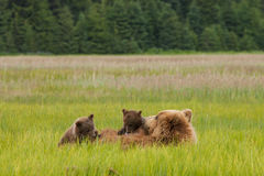 Sucling Brown Bear Cubs Royalty Free Stock Images