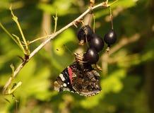 Suco bebendo do atalanta do vanessa da borboleta das bagas de groselhas pretas foto de stock royalty free
