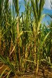 Sucre brut de jus de canne à sucre, Colombie Image libre de droits