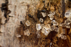 Sucre d'amour de fourmis Photographie stock
