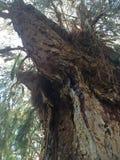 Sucre sur l'arbre Images libres de droits