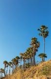 Sucrez le flabellifer de borassus de palmiers ou de palmiers de grog au cap phuket, Thaïlande de thep de phrom de laem Photos stock